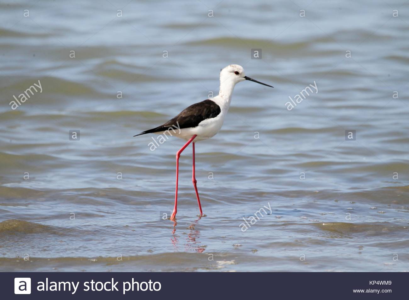 White-headed Stilt (Himantopus himantopus leucocephalus) wading in shallow water in the lagoon of Mesologgi Greece. - Stock Image