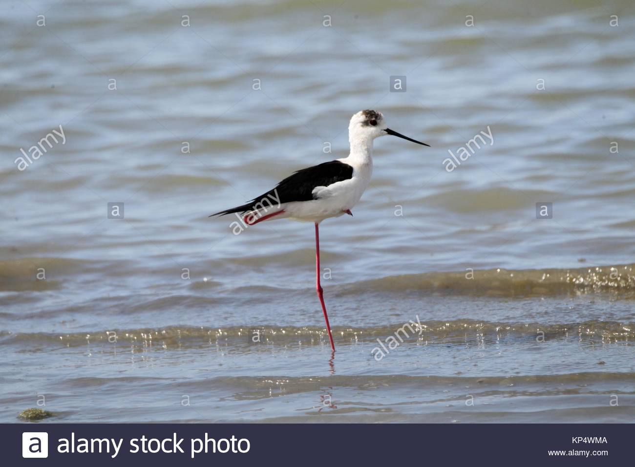 White-headed Stilt (Himantopus himantopus leucocephalus) wading in shallow water in the lagoon of Mesologgi Greece. Stock Photo