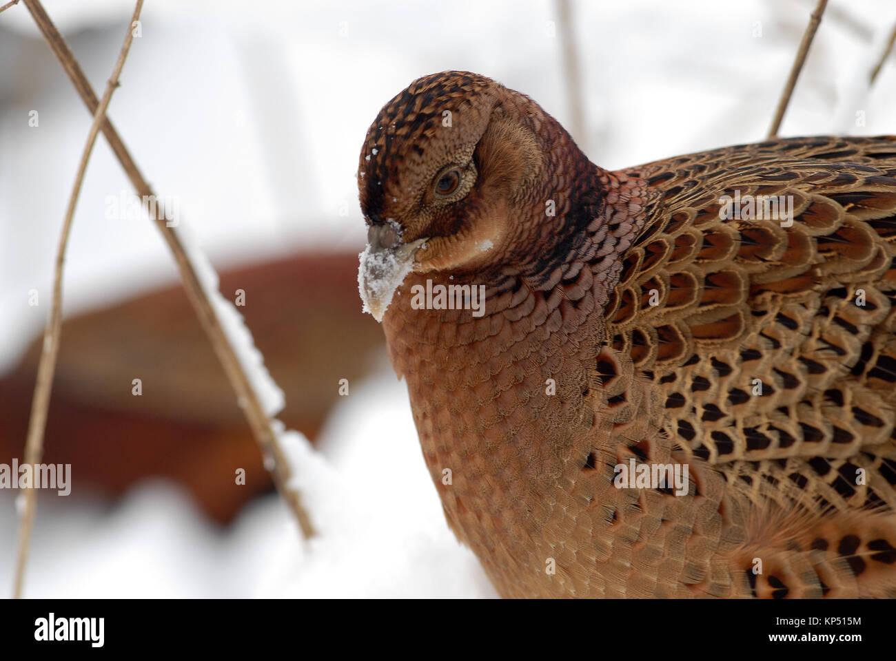 Hen Pheasant in Snow - Stock Image