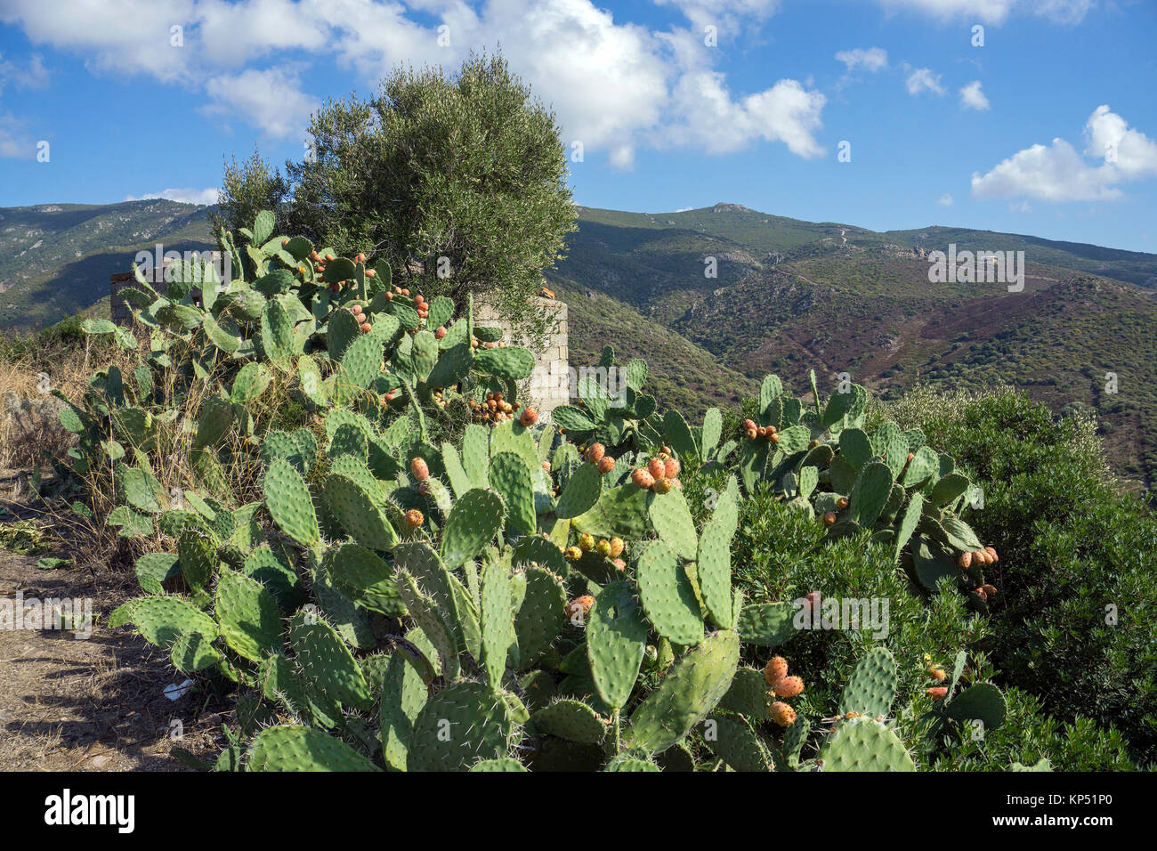 Prickly pears (Opuntia ficus-indica), Olbia-Tempio, Gallura, Sardinia, Italy, Mediterranean sea, Europe - Stock Image