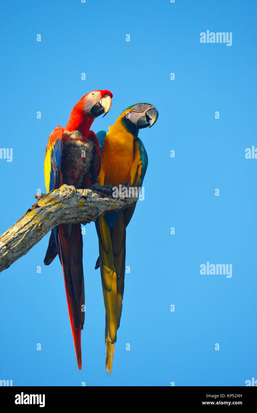 Two Macaw Parrots,Aviario National de Colombia,Isla Baru, Colombia, South America. - Stock Image