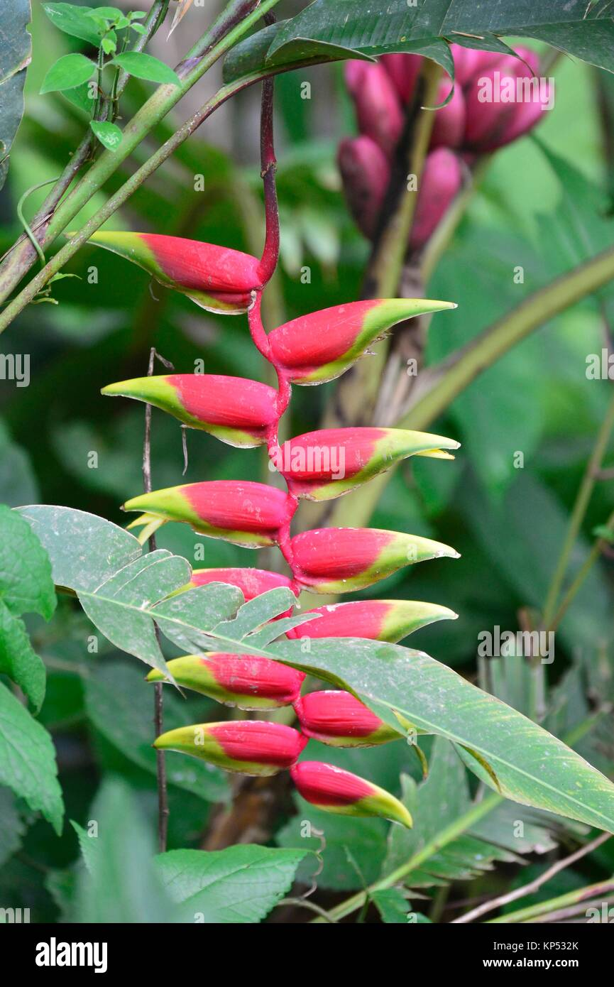 A red lobster claw flower, heliconia rostrata in Popayan, Colombia, South America. - Stock Image