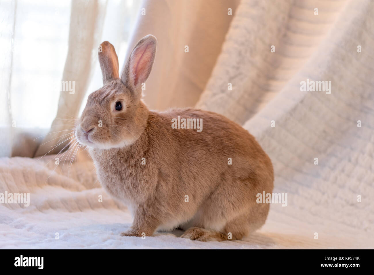 Beautiful tan and rufous domestic bunny rabbit surrounded by plush fabrics in muted palette - Stock Image