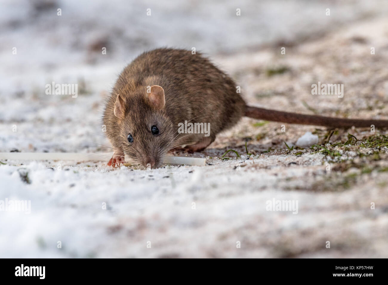 Brown Rat eating seeds on a snow covered groung. - Stock Image