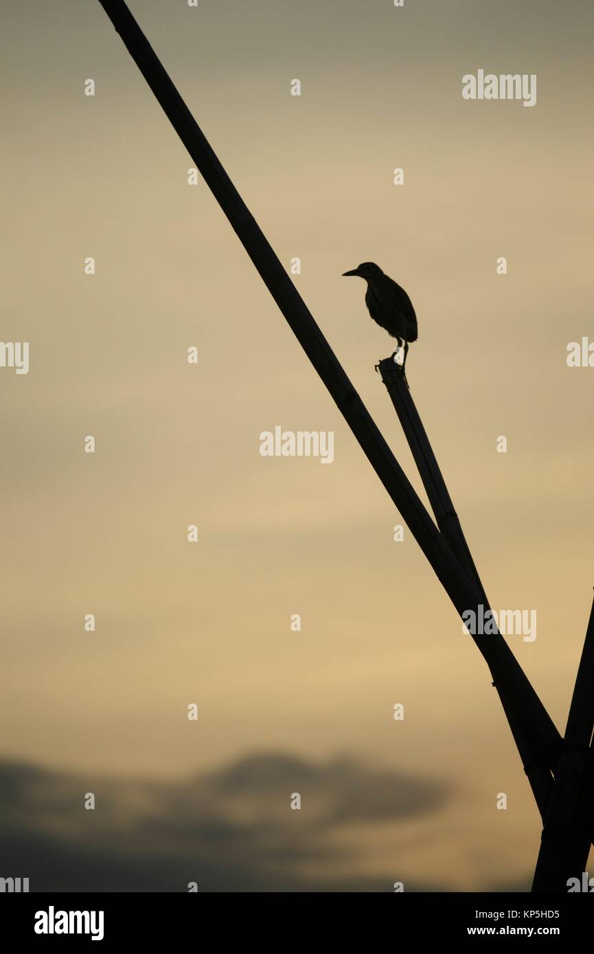 Silhouette of bird, Tempe lake, Sulawesi,Indonesia. - Stock Image