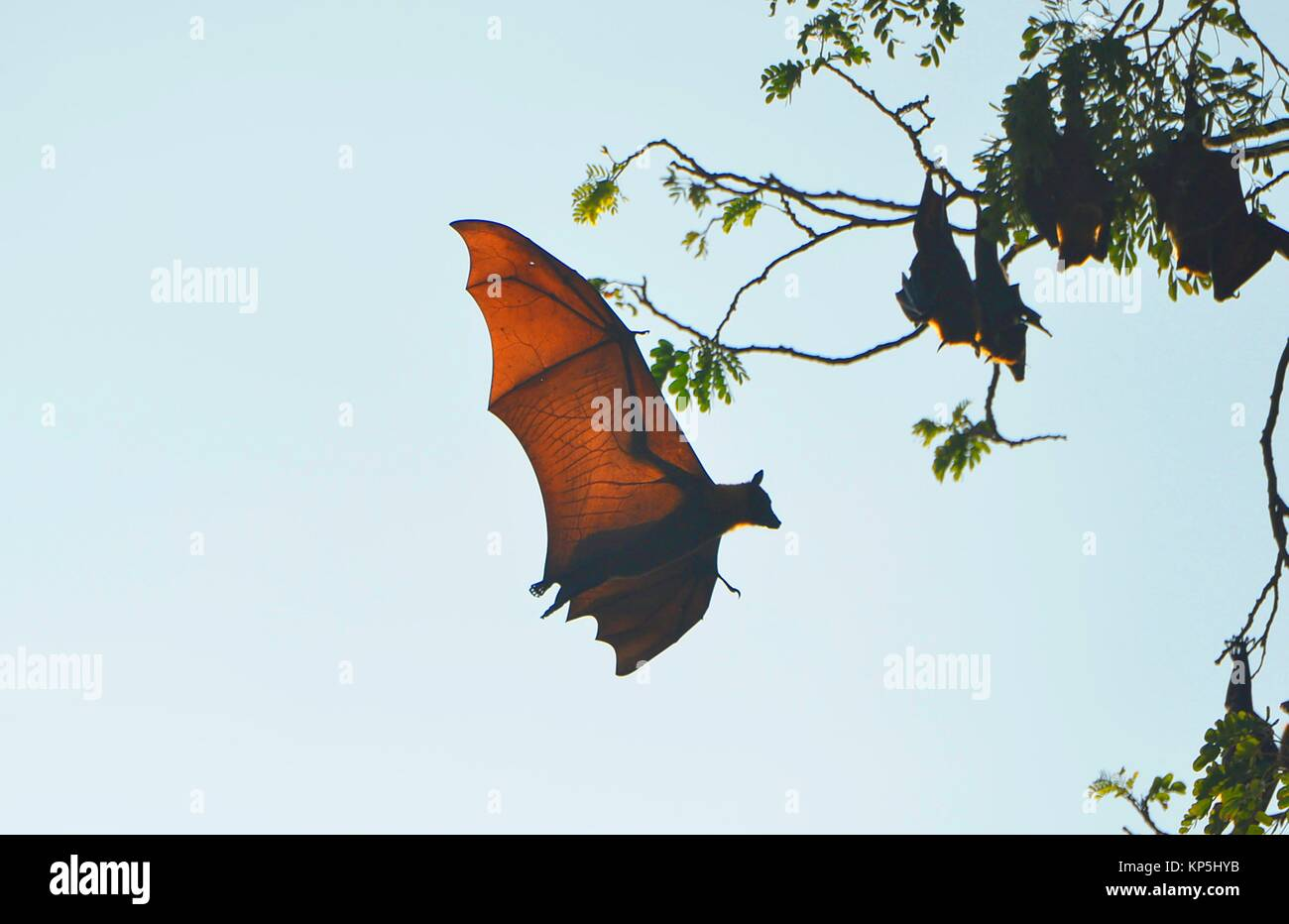 Flying fox in Battambang, Cambodia,Indochina,Southeast Asia,Asia. - Stock Image