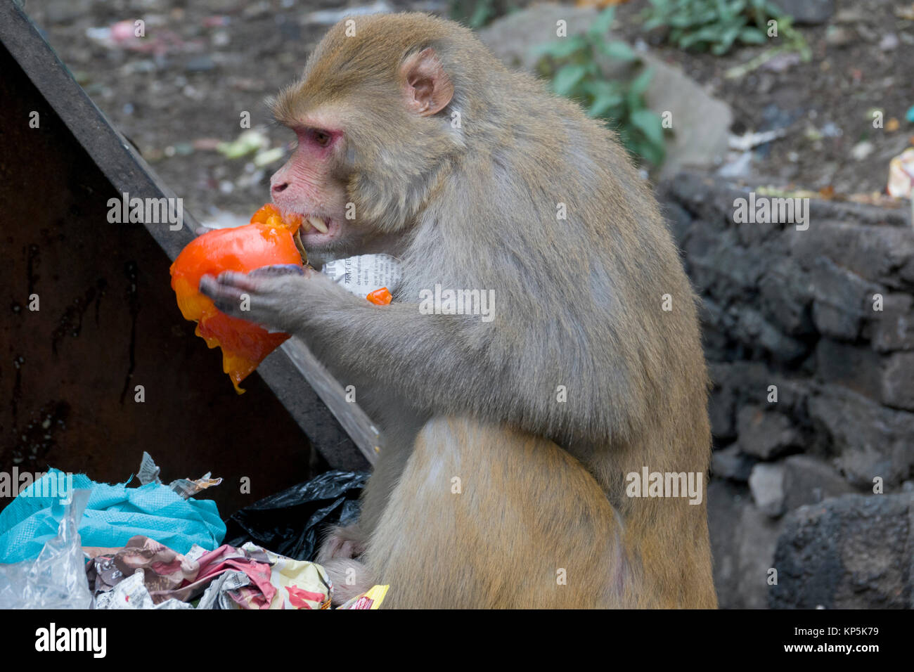 Rhesus macaque monkey scavenging food from dumpster in Mcleod Ganj, India - Stock Image
