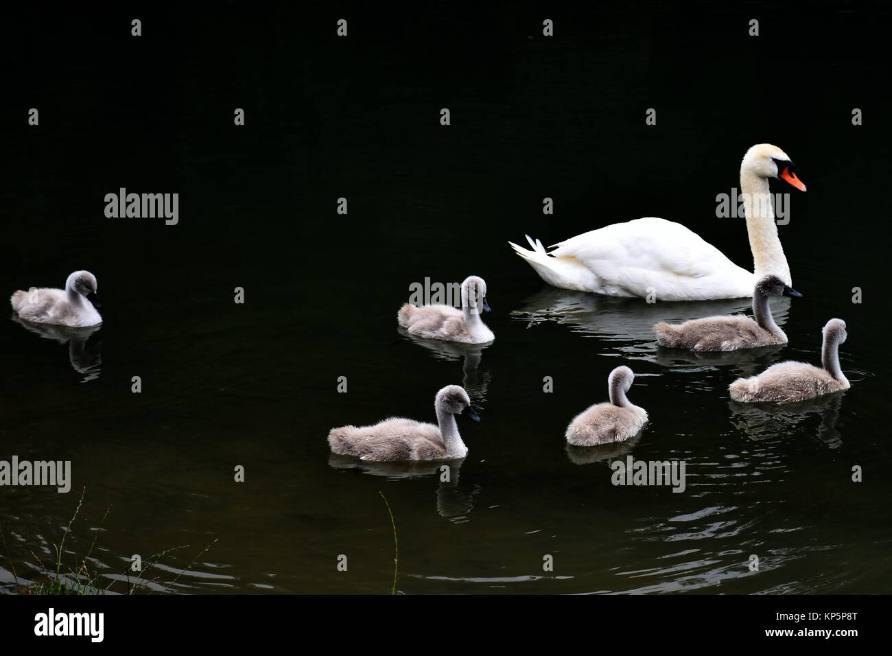 Swan Swimming With Cygnets, Stanway House, Gloucestershire, England. Stock Photo