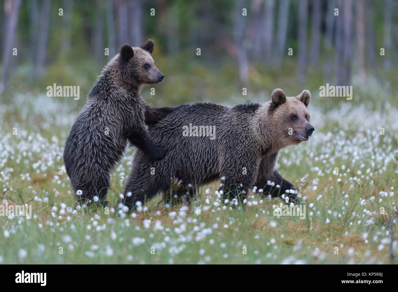 Braunbaer mit Jungtier, brown bear mother with young animal - Stock Image