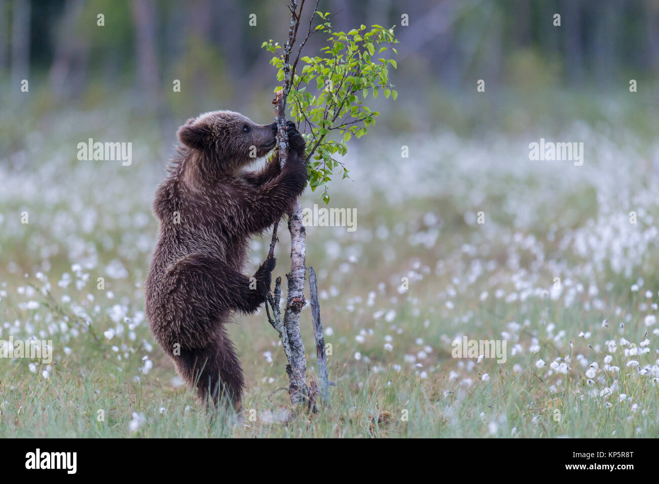 young brown bear try to climb a small birch tree - Stock Image