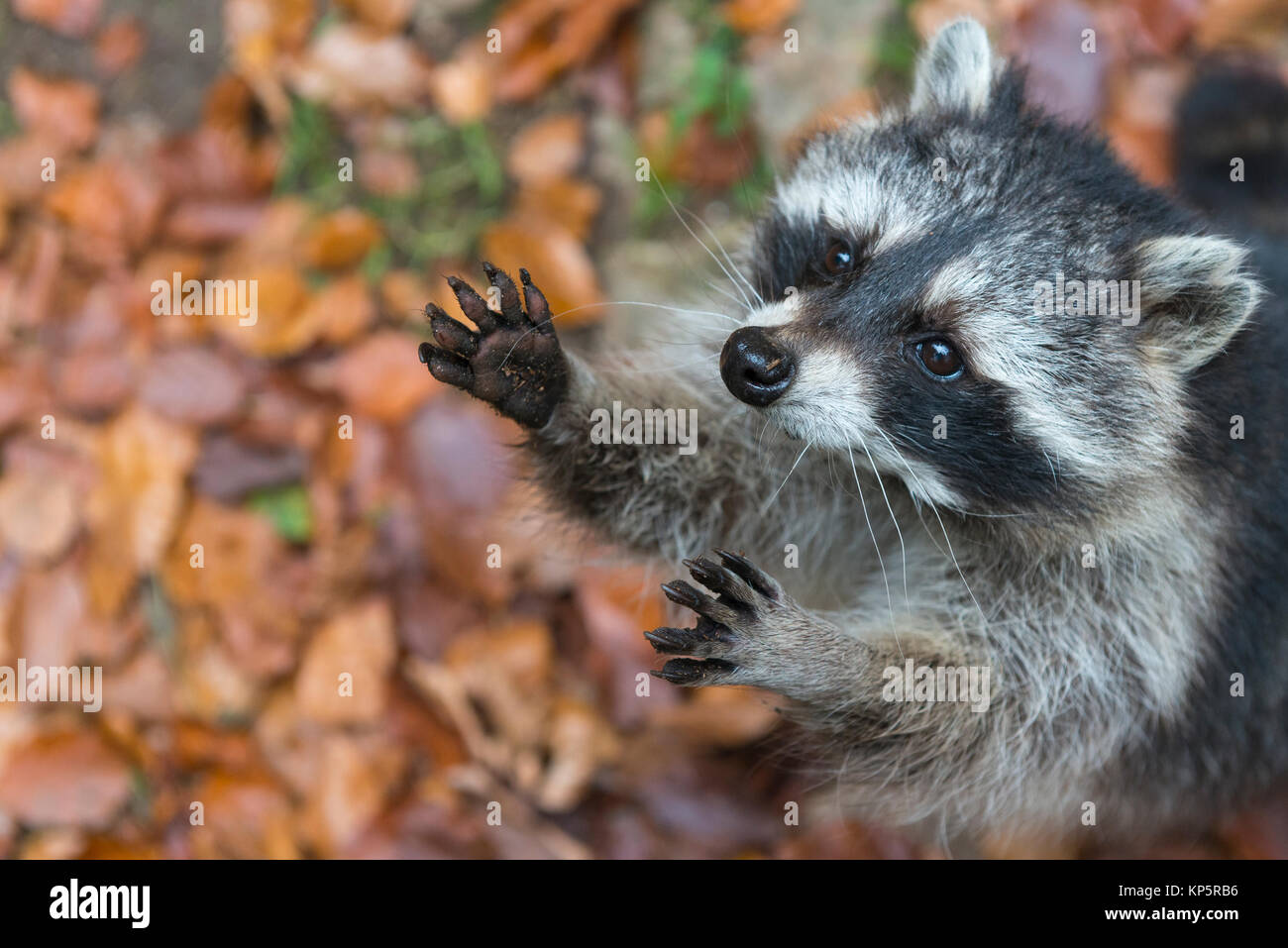 Waschbaer, Racoon, Procyon lotor, - Stock Image