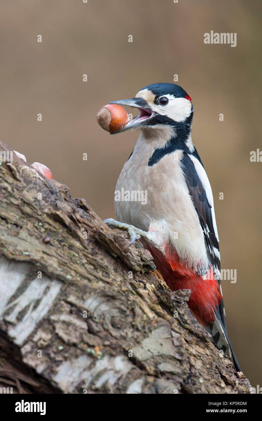 Buntspecht mit Nuss, great spotted woodpecker with a hazelnut - Stock Image