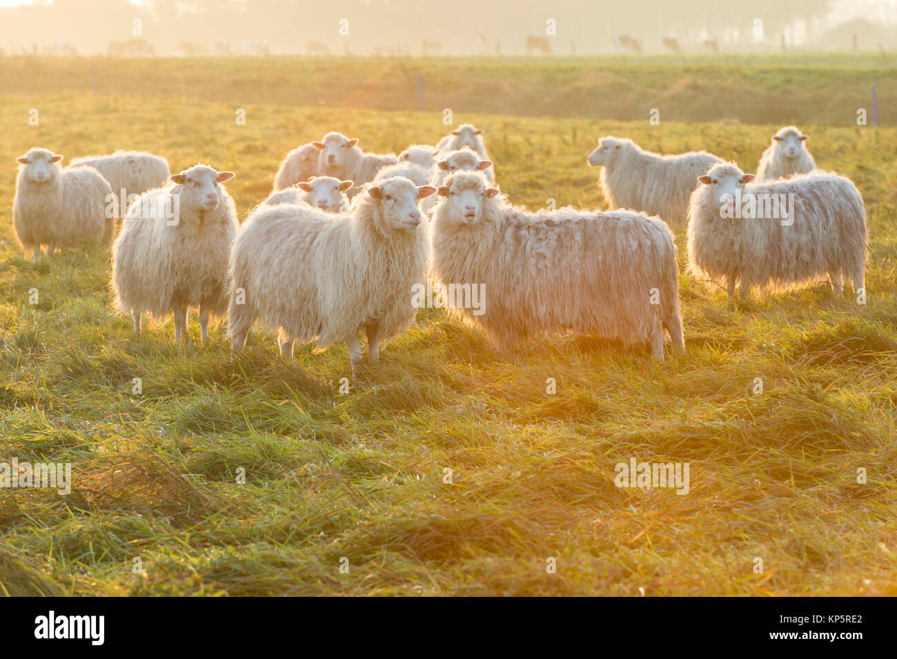 Schafe bei Sonnenaufgang, sheeps on meadow in the early morning, flock of sheeps - Stock Image
