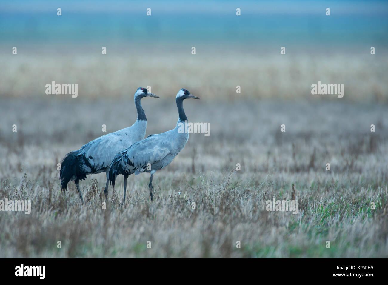 Kranich, Grus grus, couple of cranes - Stock Image