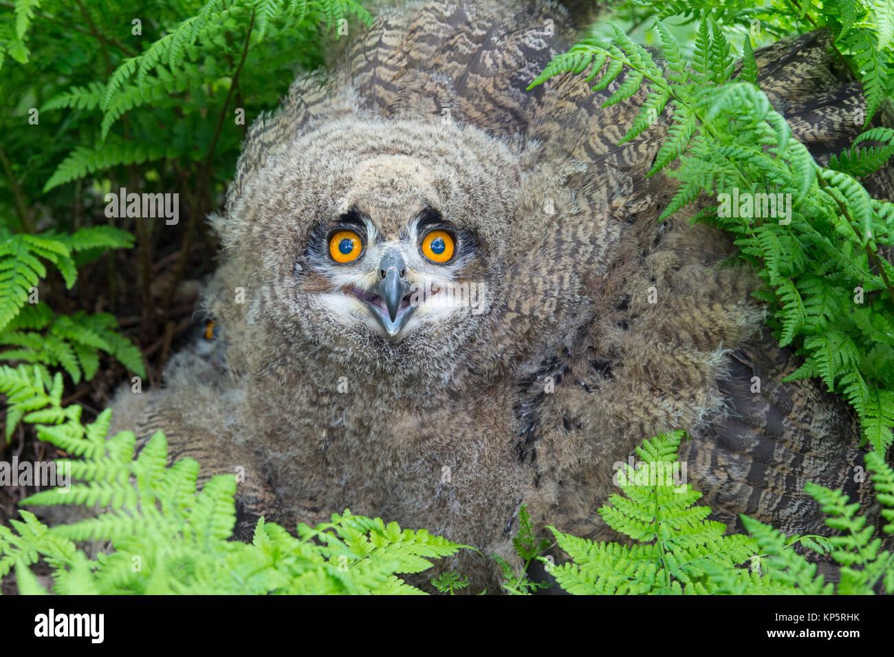 Junger Uhu, young Eurasian Eagle-Owl, Bubo bubo - Stock Image
