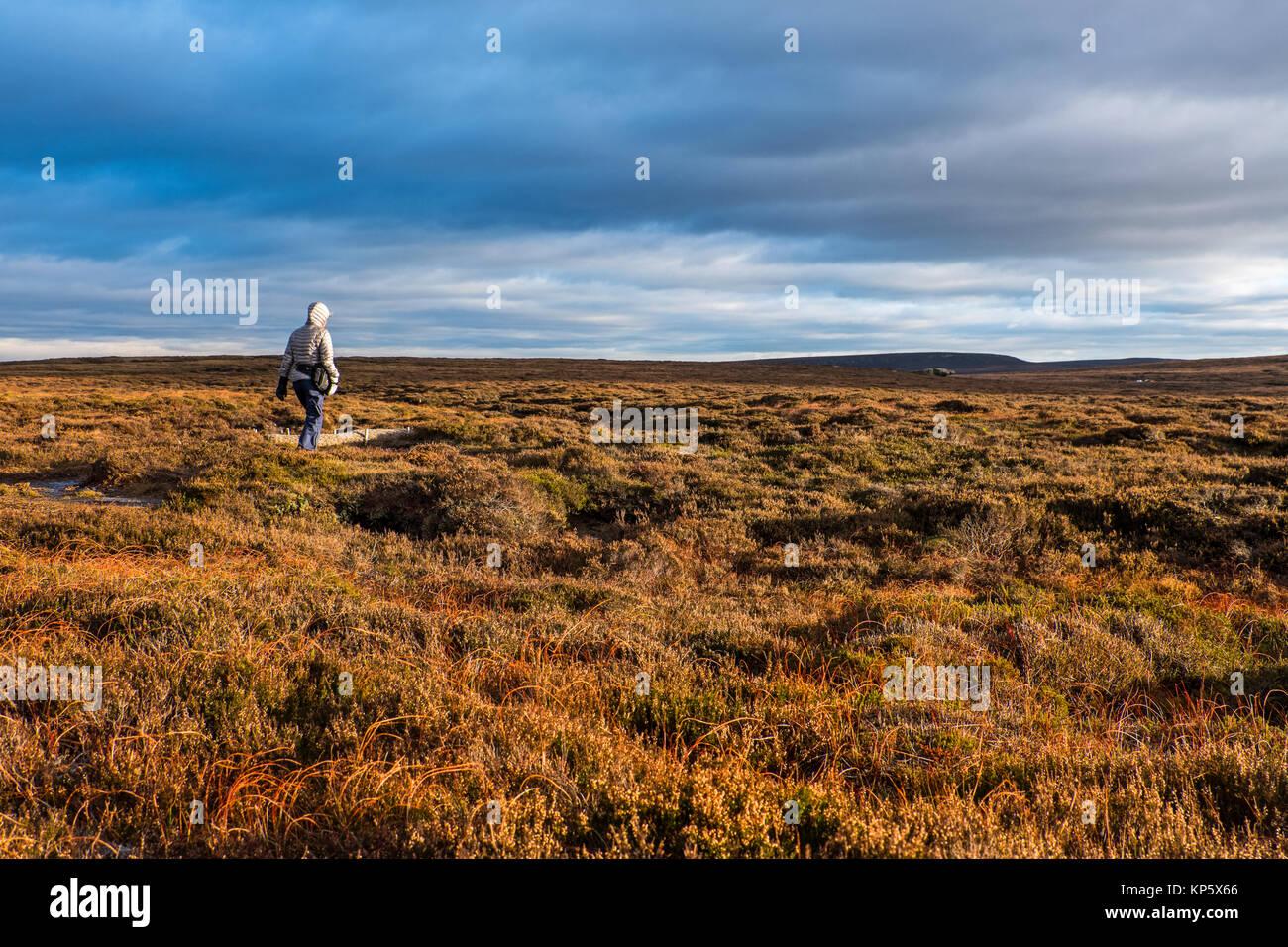Female walker on The Bleaklow / Howden moors of The Dark Peak, Peak District National Park - Stock Image