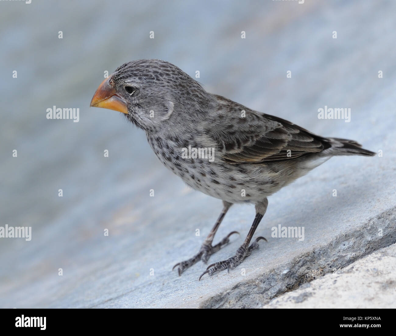 A female large ground finch (Geospiza magnirostris). This bird has an enormous beak and associated musculature, - Stock Image