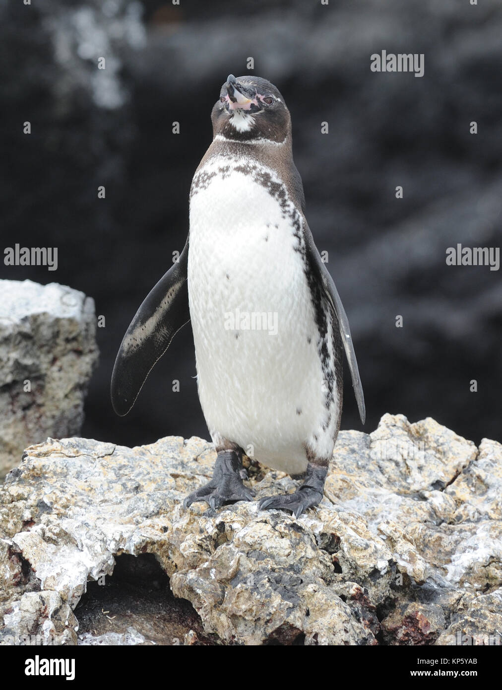A Galápagos penguin (Spheniscus mendiculus) on the lava rocks of Las Tintoreras. Las Tintoreras, Puerto Villamil, - Stock Image