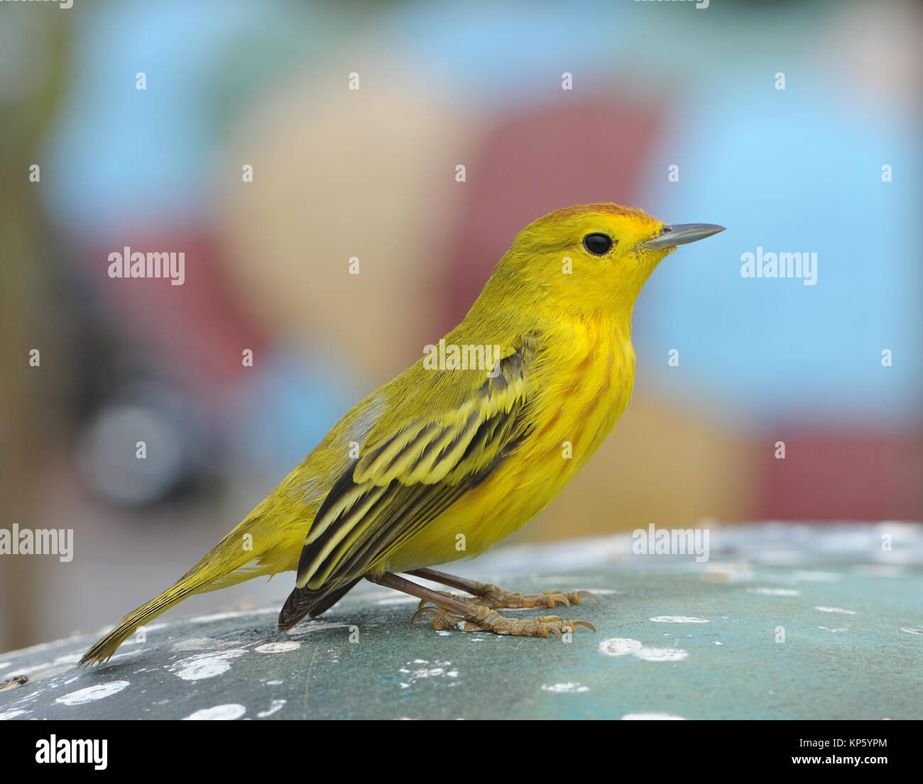 The yellow warbler (Setophaga petechia, Dendroica petechia) is s common site in dryer parts of Galapagos, even in - Stock Image