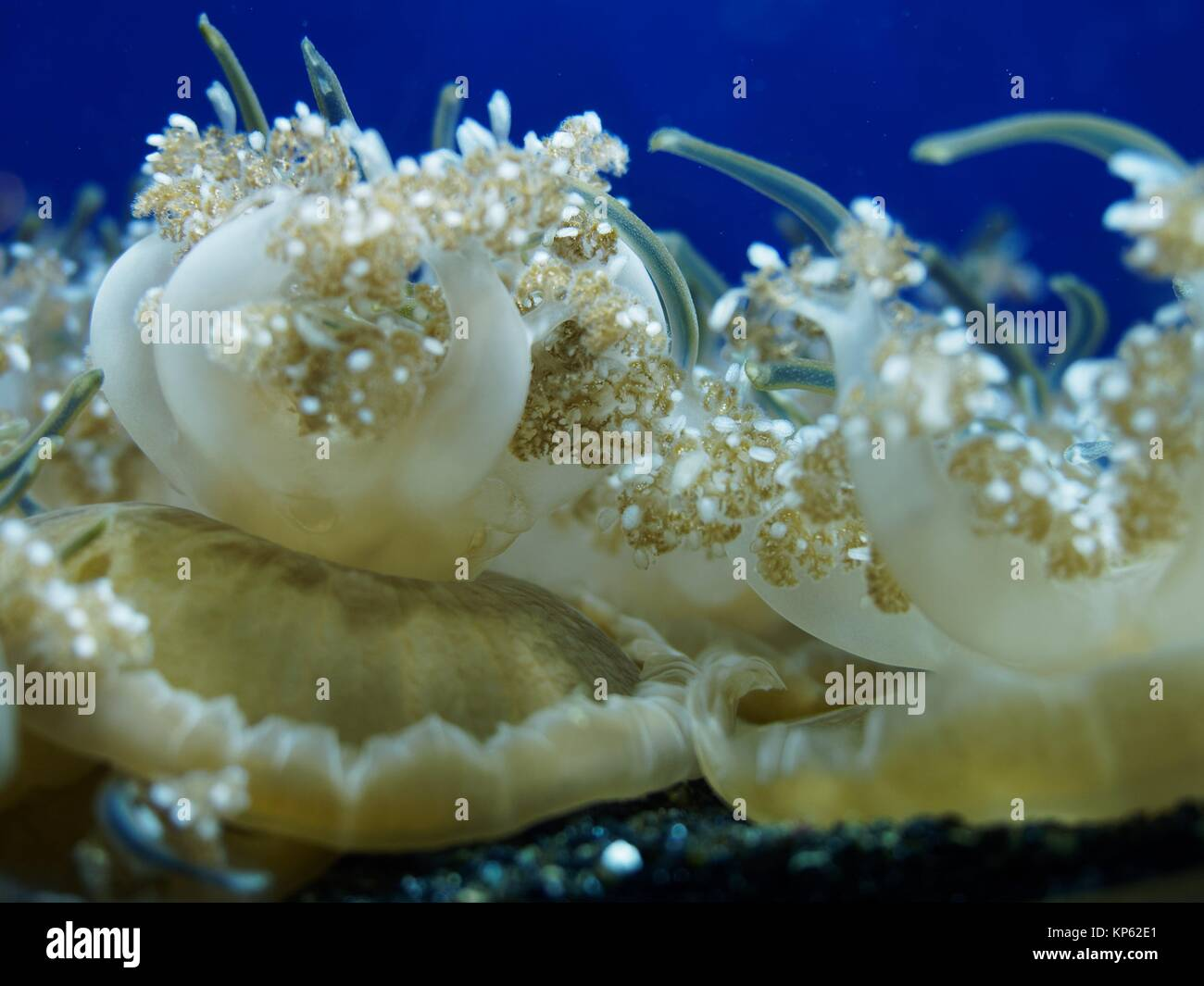 Jellyfish Cassiopeia andromedra - Stock Image
