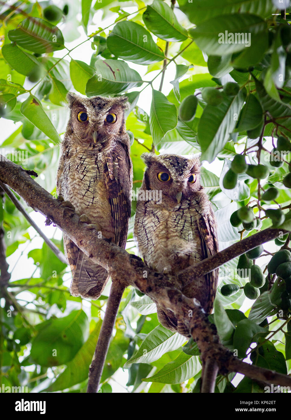 Two Crested Owls Lophostrix cristata peering down from tree branches in the Osa peninsula Costa Rica - Stock Image
