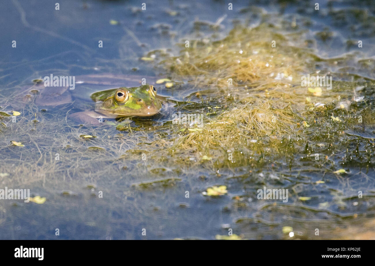 Marsh frog Pelophylax ridibundus in the Somersetshire coal canal near Bath UK - Stock Image