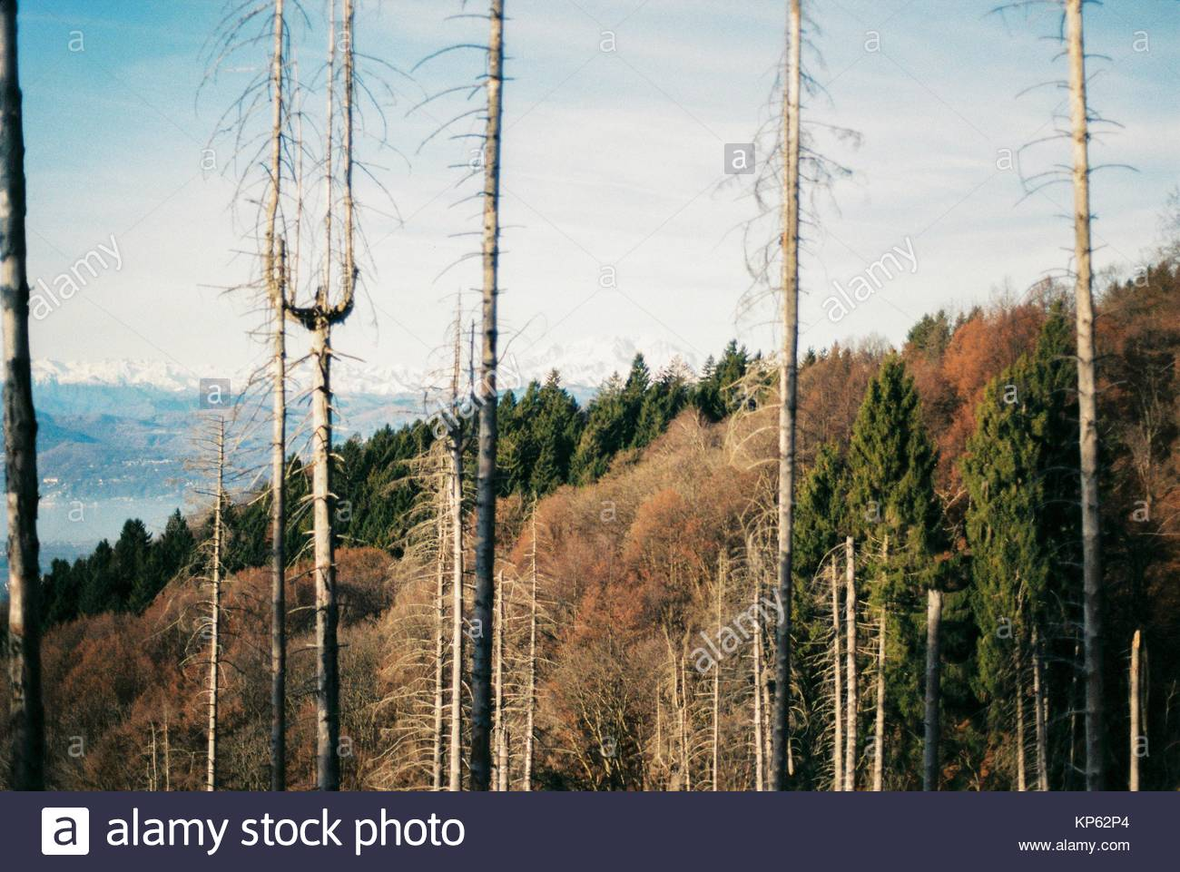 Some dead conifer forest on the Campo dei Fiori di Varese, Lombardy, Italy - Stock Image