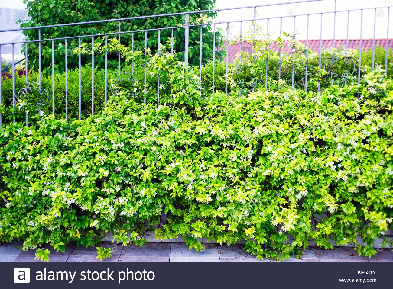 Jasmine Plant Stock Photo 168549863 Alamy