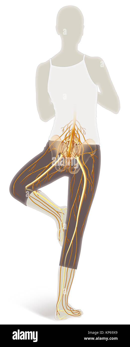 Lower Limb Nerve Stock Photos Lower Limb Nerve Stock Images Alamy