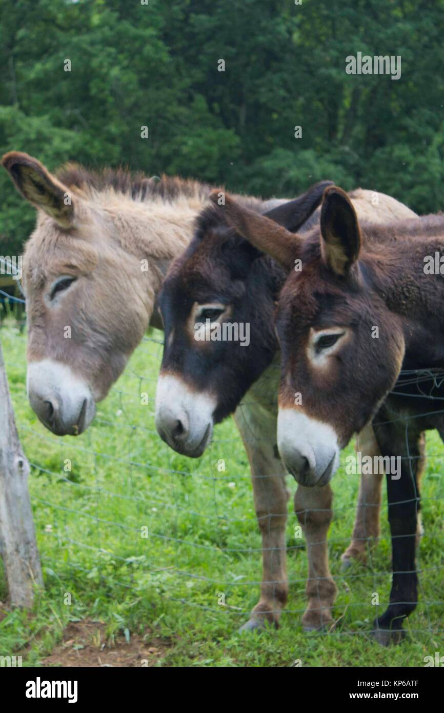 Funny image of a close-up group of three curious donkeys side by side on a farm. Stock Photo