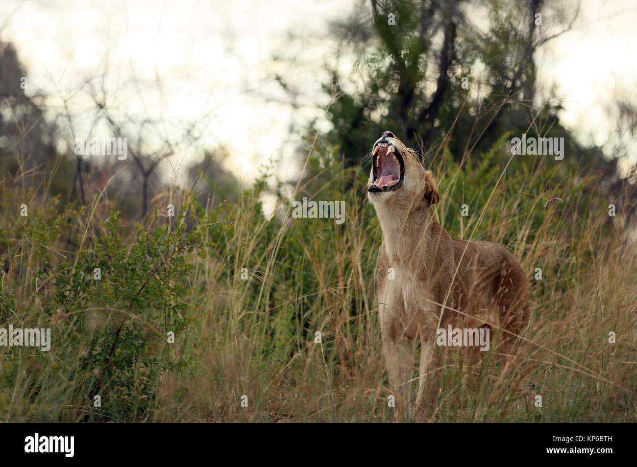 Kruger National Park. Lioness yawning (Panthera leo). South Africa. Stock Photo