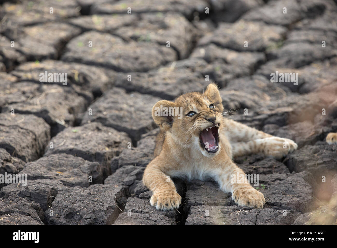 Serengeti National Park. Lion cub (Panthera leo). Tanzania. - Stock Image