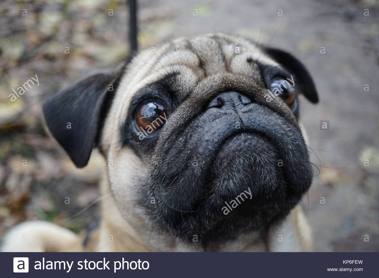 Pug portrait - Stock Image