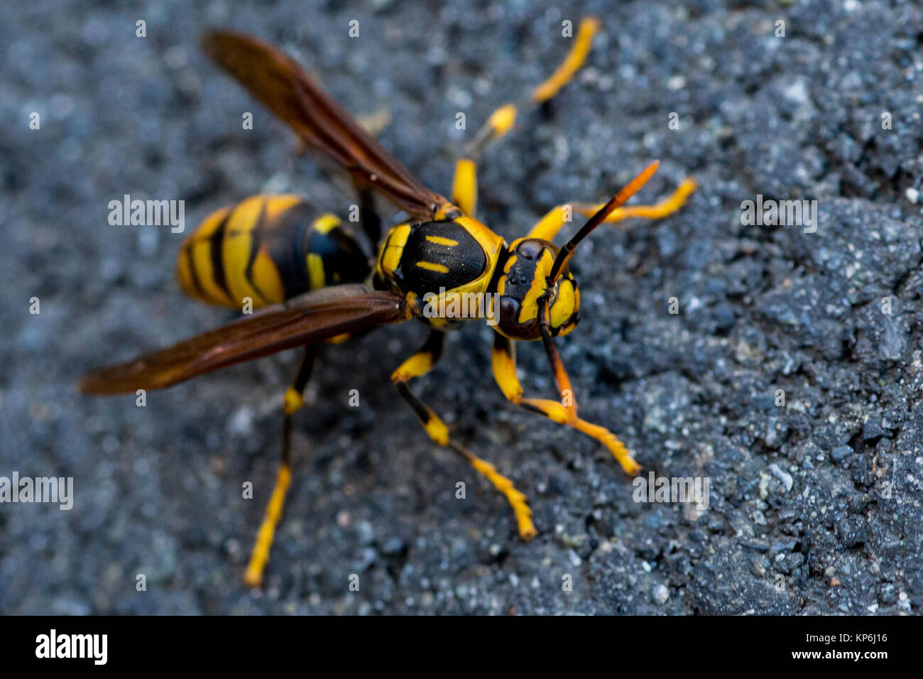 A wasp crawls along the sidewalk on a chilly November day in Japan. - Stock Image