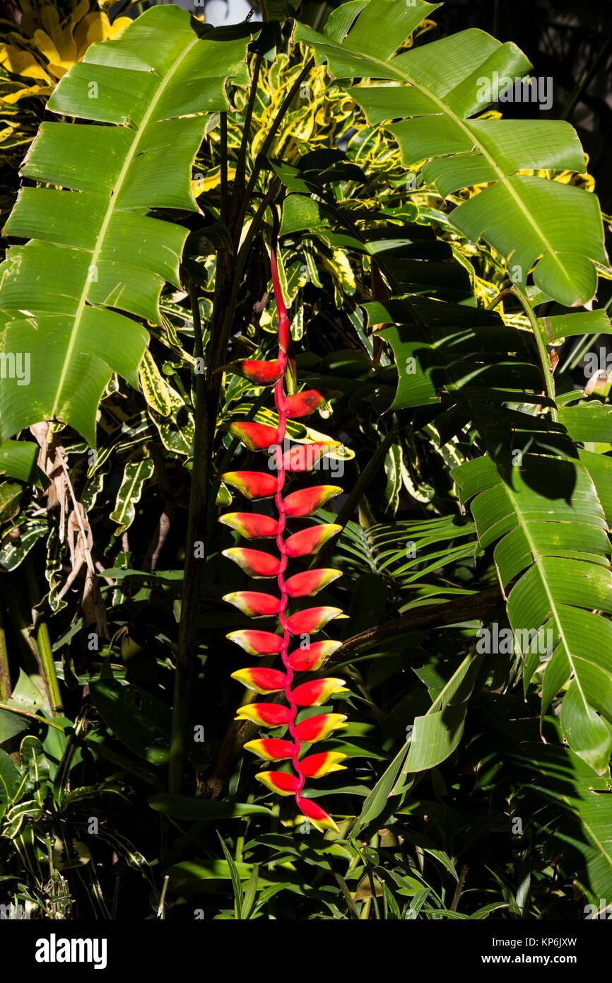 The inflorescence of a lobster-claw heliconia plant (Heliconia rostrata). - Stock Image
