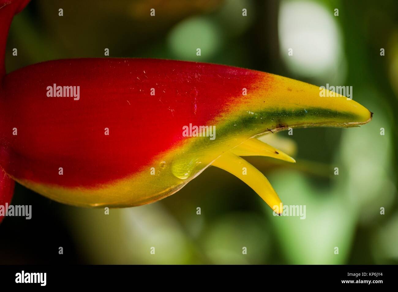 Macro view of a lobster-claw heliconia (Heliconia rostrata) bract revealing the small inner flower. - Stock Image