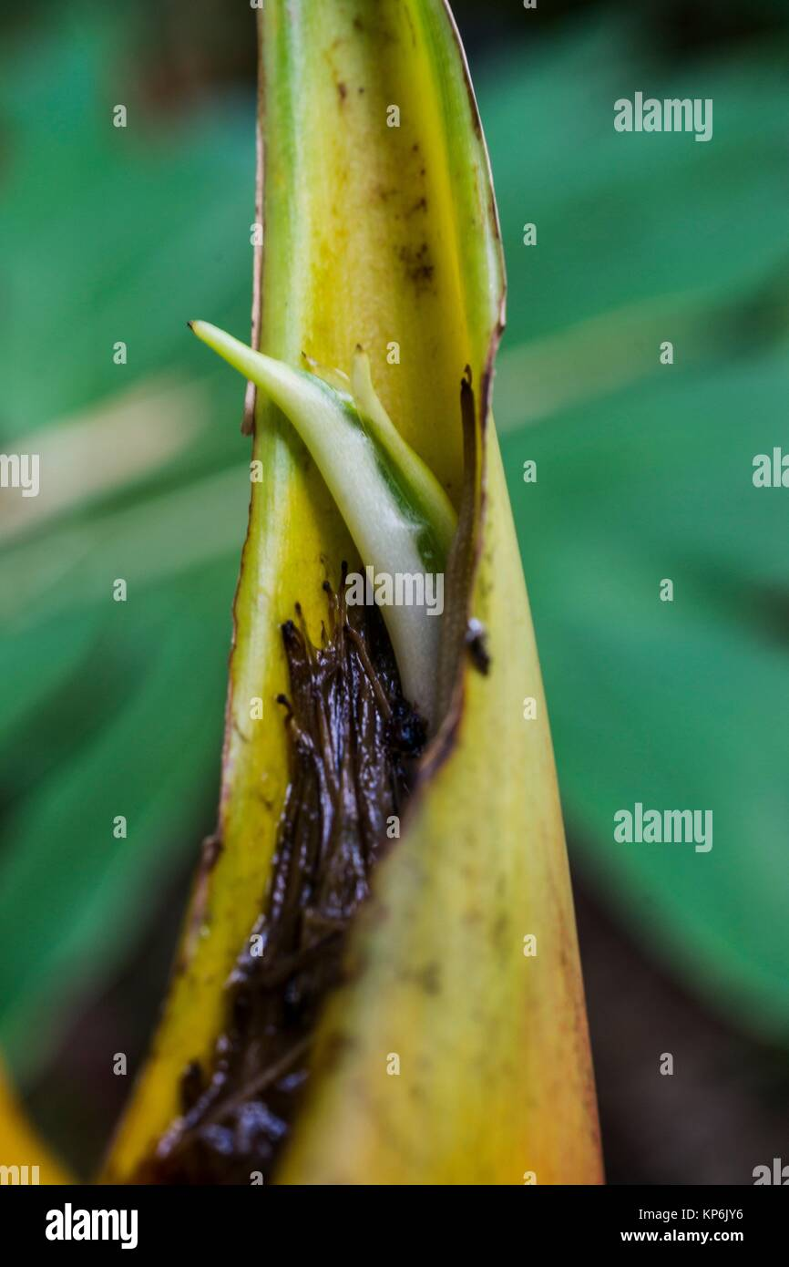 Macro view of the flower inside a heliconia bract. - Stock Image