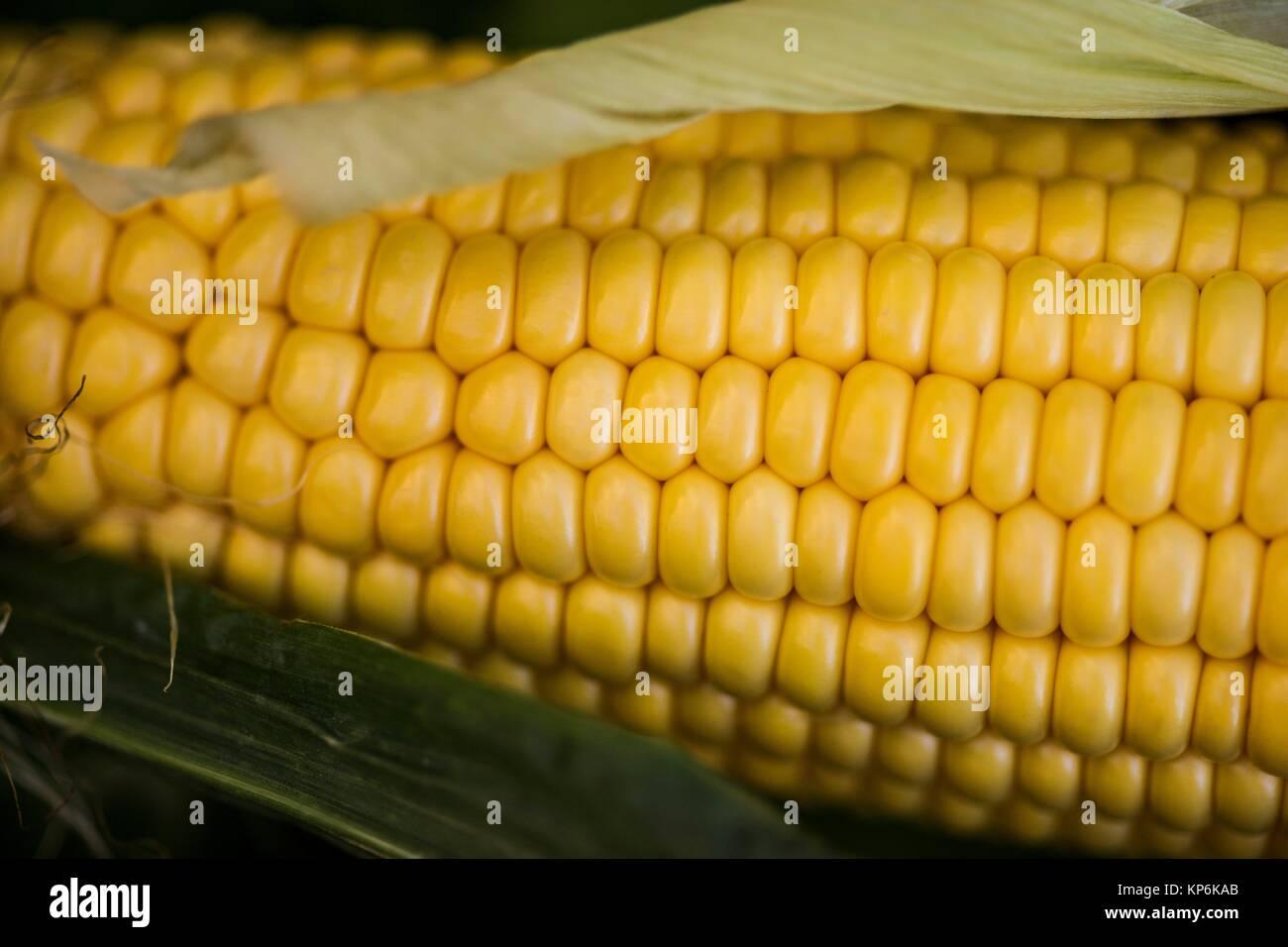 Ear of corn (maize, Zea mays). - Stock Image