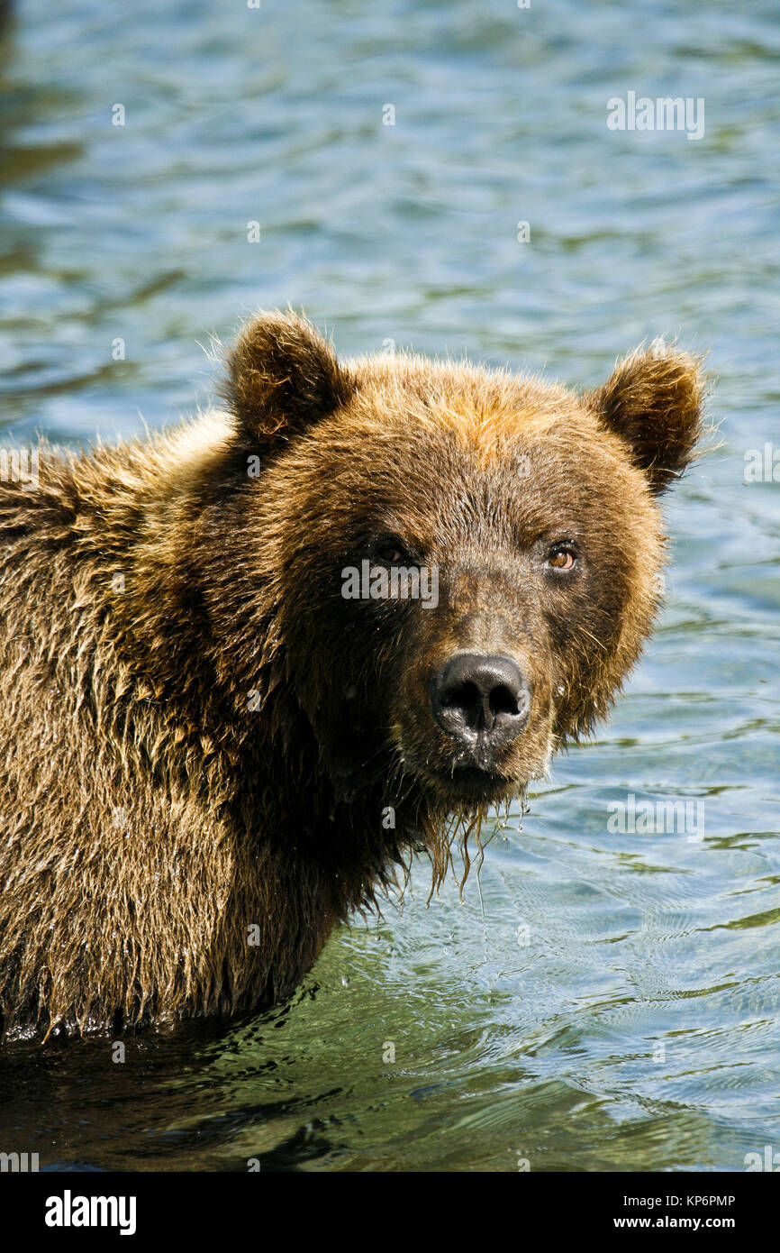 Bear in Kurile lake. Kamchatka. Siberia. Russia Stock Photo