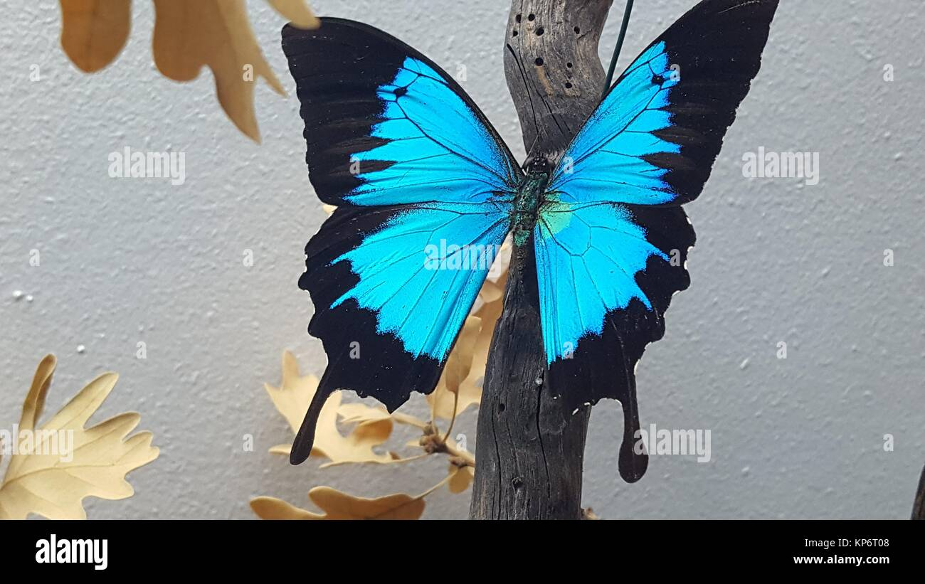 Swallowtail blue mountain butterfly (Papilio ulysses). Local Museum, Department of Entomology. Molina de Aragón, - Stock Image