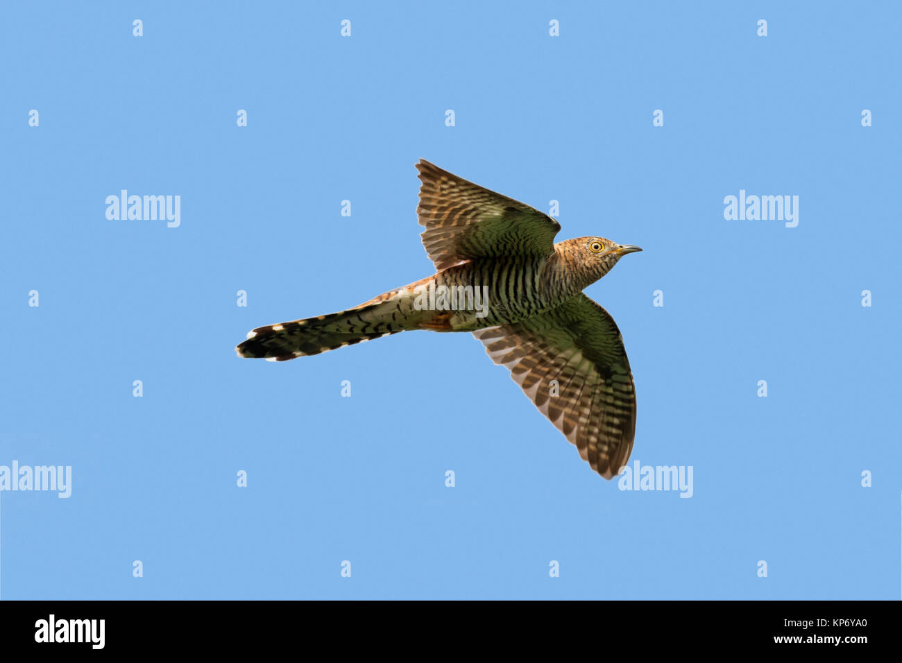 Common cuckoo (Cuculus canorus) female in flight against blue sky - Stock Image