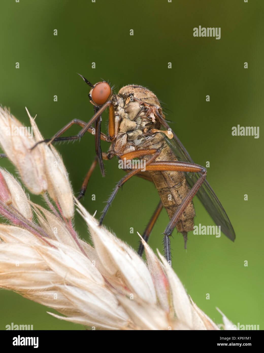 Daggerfly (Empis sp.) on grass. Knockavilla, Tipperary, Ireland. - Stock Image
