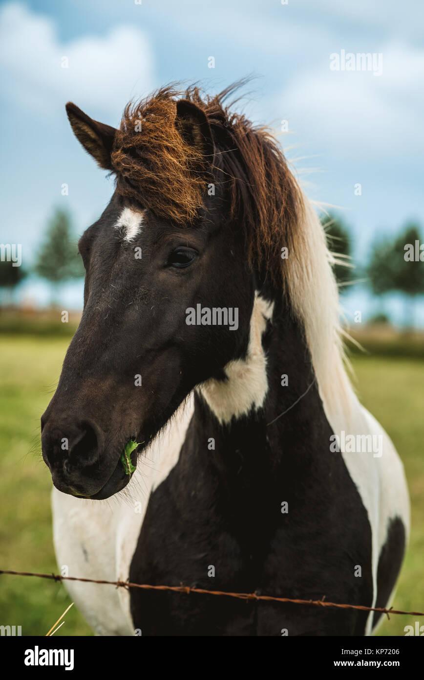 Iceland horse - Stock Image