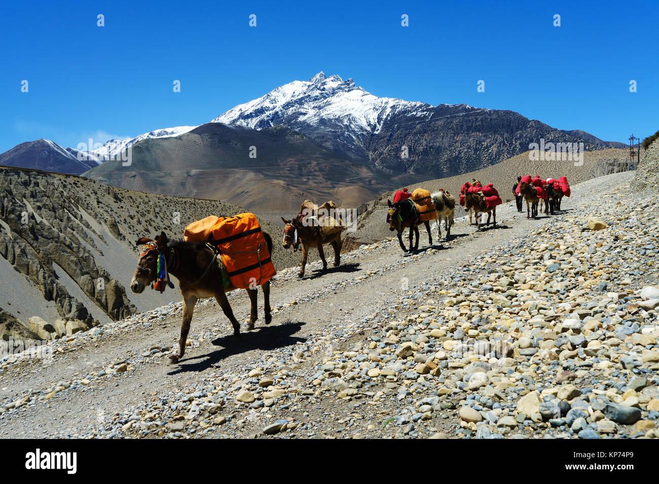 Mule train hauling merchandise between Tangbe and Chuksang, Upper Mustang region, Nepal. - Stock Image