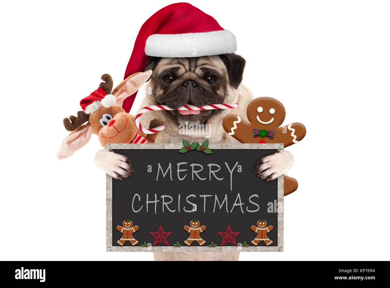 cute Christmas pug dog with santa hat and candy cane, toys and cookies, holding up blackboard, isolated on white - Stock Image