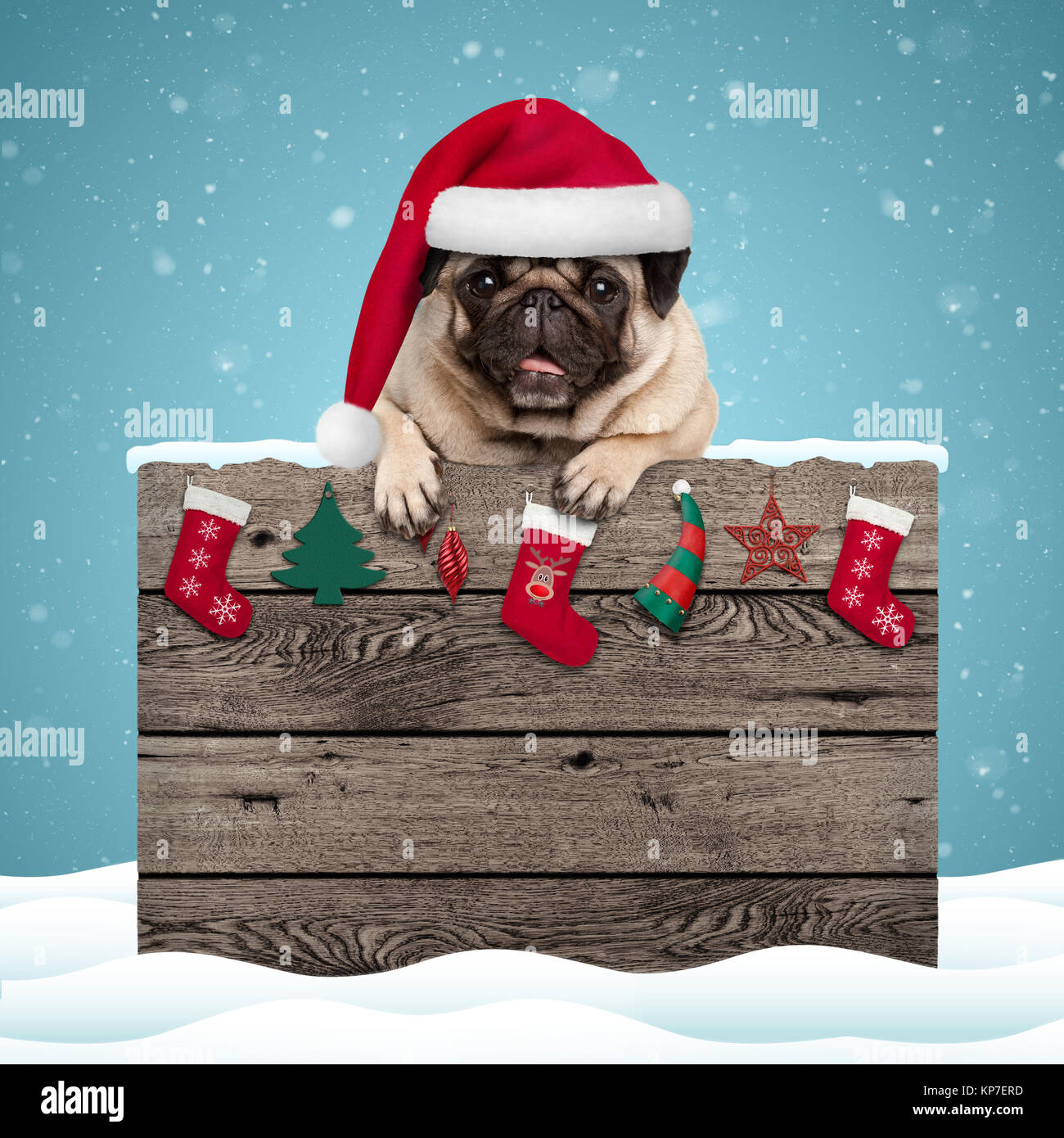 cute pug puppy dog wearing santa hat hanging with paws on weathered wooden sign with Christmas decoration, on blue - Stock Image