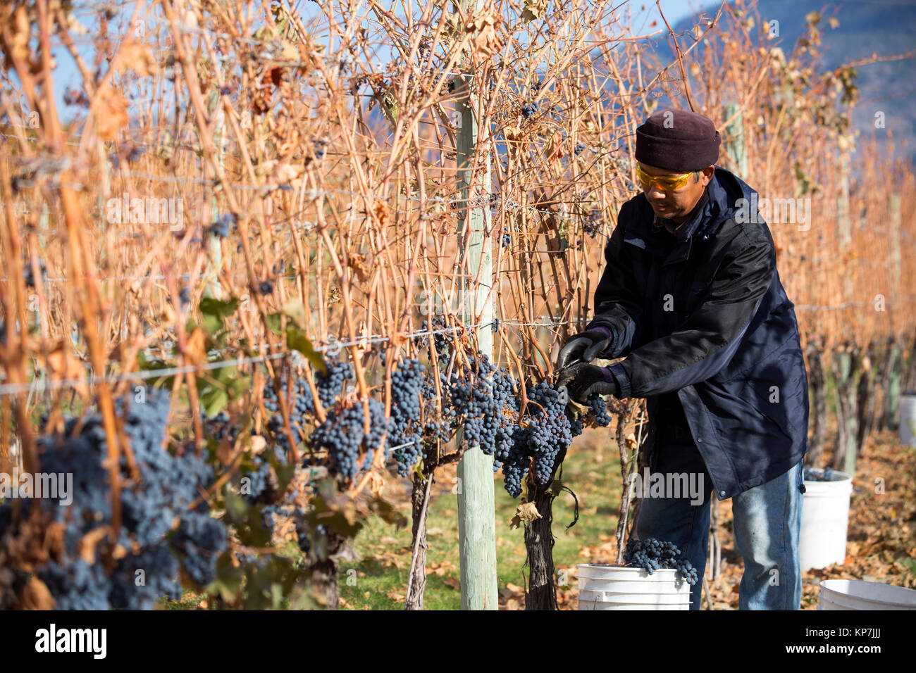 Immigrant farm worker harvesting cabernet franc grapes in the Okanagan Valley, British Columbia, Canada. - Stock Image