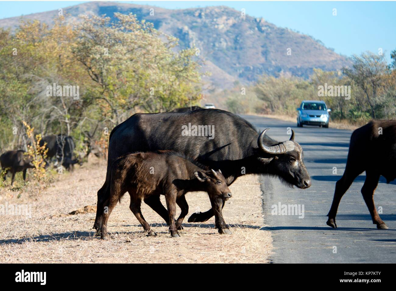 Buffalo (Syncerus caffer) juvenile crossing road, Kruger National Park, Transvaal, South Africa. - Stock Image