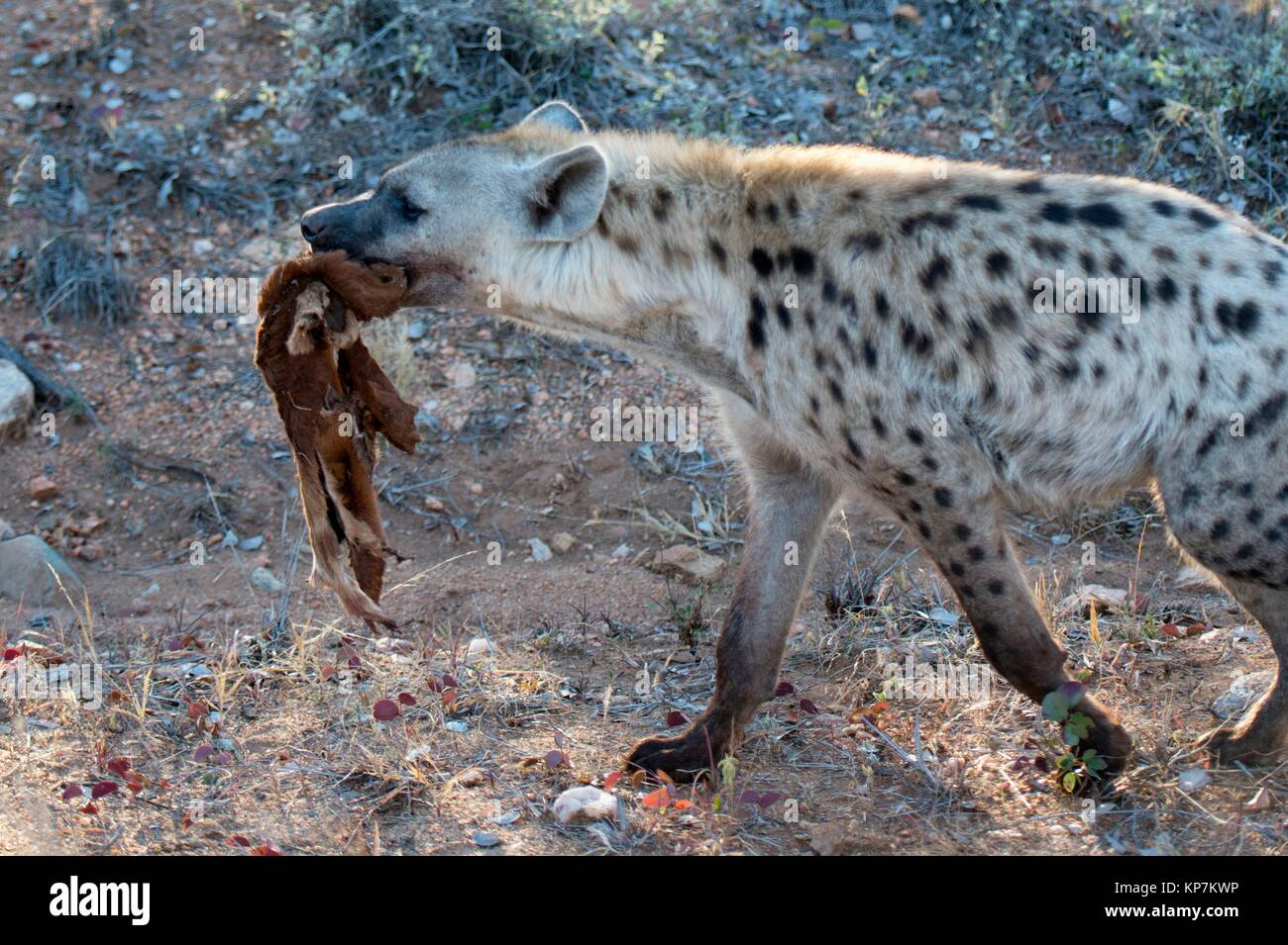 Spotted Hyena (Crocuta crocuta) aka Laughing Hyena with skin of antelope, Kruger National Park, Transvaal, South - Stock Image
