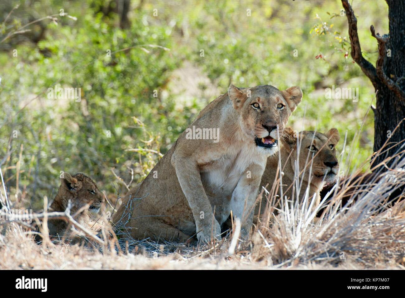 Female Lion (Panthera leo) standing up next to cub, Kruger National Park, Transvaal, South Africa. Stock Photo